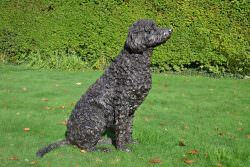 SITTING LABRADOODLE SCULPTURE