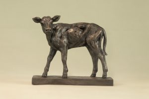Shorthorn Calf