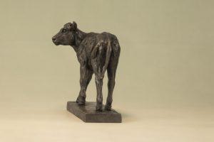 Shorthorn Calf Back