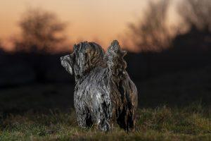 bronze norfolk terrier